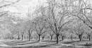 עצי פקאן צעירים