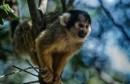קוף סנאי (Saimiri)