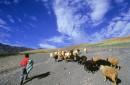 רועה הצאן