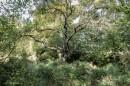 ותיק ביער