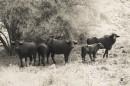 עדרי הבפאלו