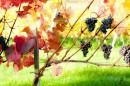 ענבי יין