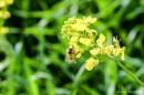 דבורה על פרח