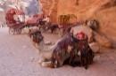 גמלים 1