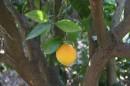 תפוח זהב