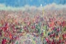 שיבולים בשדה פילפלים