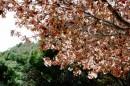 עץ השקדיה