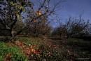 שדה תפוחים