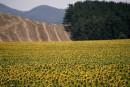 שדה חמניות וגבעות