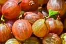 דומדמנית (gooseberry)