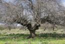 עץ האלון