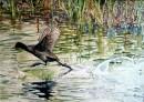 צפור מדלגת על מים זורמ