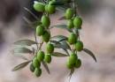 ענף של עץ זית