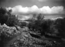 עלאר 1947 - עצי זית