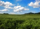 שדה חיטה