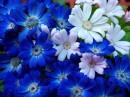 כחול לבן