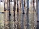 אקליפטוסים במים