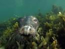 כלב ים מקרוב