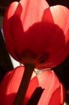 תמונה של צבעונים | תמונות
