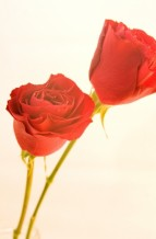 תמונה של ורד 1 | תמונות