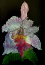 תמונה של פרח אירוס | תמונות