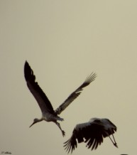 תמונה של לעוף בשניים | תמונות