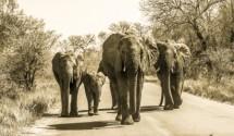 תמונה של פילים בכביש    תמונות