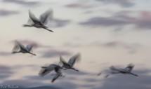 תמונה של מעוף העגורים | תמונות
