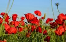 תמונה של בשדה אדום | תמונות