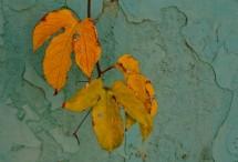 תמונה של גפן בחצר | תמונות