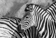 תמונה של זברות שחור לבן | תמונות