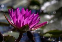 תמונה של פרח על המים | תמונות