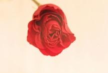 תמונה של ורד 2 | תמונות