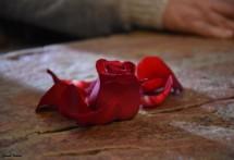 תמונה של ורד השיש | תמונות