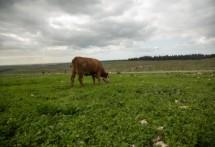 תמונה של פרה בשדה | תמונות