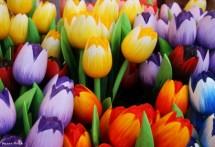 תמונה של צבעונים צבעוניים | תמונות