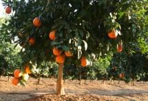 תמונה של עץ התפוז | תמונות