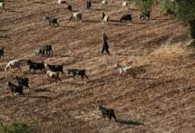 תמונה של רועה את עדרו | תמונות