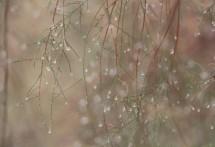 תמונה של אשל בגשם | תמונות