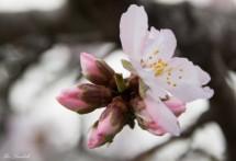 תמונה של פרח השקד | תמונות