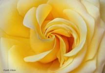 תמונה של סיחרור צהוב | תמונות