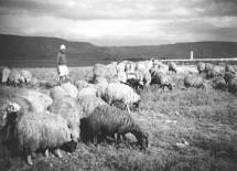 תמונה של הרועה ועדרו 1946 | תמונות