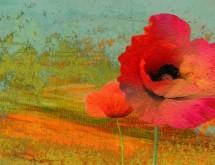 תמונה של Poppies | תמונות