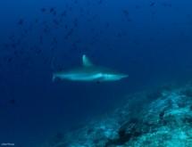 תמונה של כריש בכחול 2 | תמונות