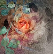 תמונה של Rosy Rose | תמונות
