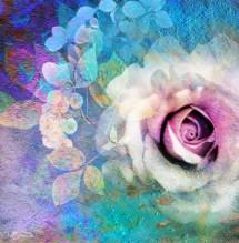 תמונה של Pink Rose   תמונות
