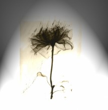 תמונה של פרח שחור | תמונות