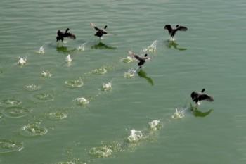 אצו רצו ברווזים
