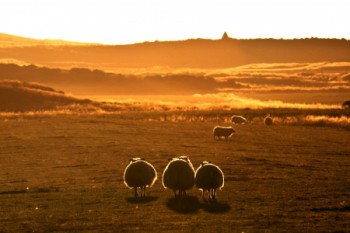 כבשים בזריחה