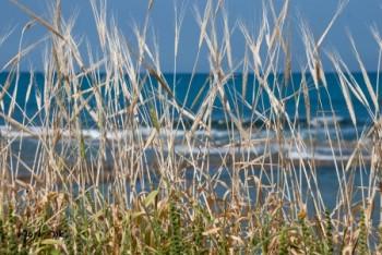 שבולים מול הים